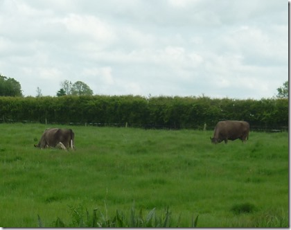 5 cow in furrow at braunston