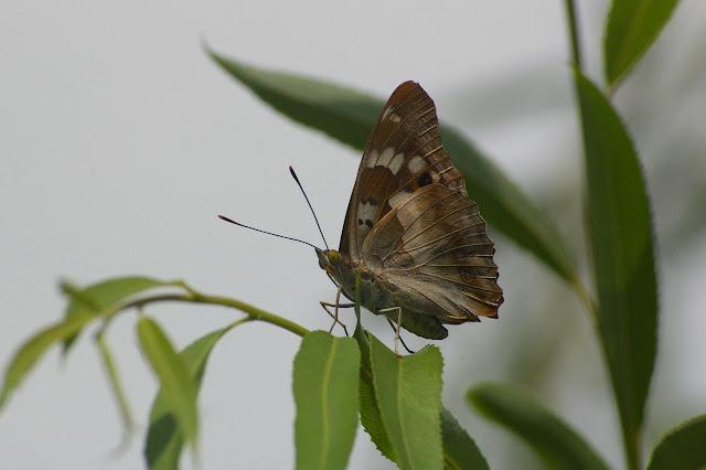 Apatura ilia yunnana MELL 1952. Shaxi (Yunnan), 11 août 2010. Photo : J.-M. Gayman