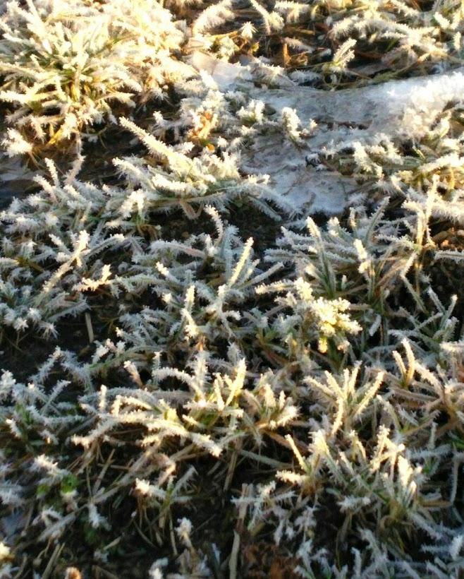 とっても寒い朝、草が凍って霜が着いていました