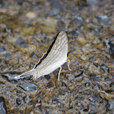Marpesia merops (Doyère, [1840]). Rio Calovébora, Guabal, 300 m (Veraguas, Panamá), 29 octobre 2014. Photo : J.-M. Gayman