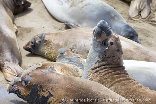 Moulting Elephant Seal Rookery Cambria California 2