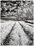 """Lavender Fields"" by Steve Bailey - 2nd place Digital General ""A"""
