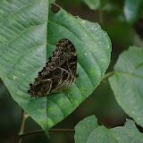 Morpho (Morpho) deidamia deidamia (HÜBNER, [1819]). Premier layon, Patawa (Montagne de Kaw), 24 octobre 2012. Photo : J.-M. Gayman