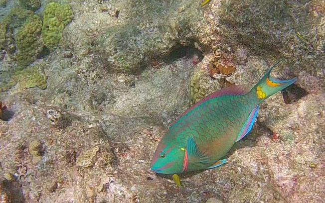[parrotfish%5B4%5D]