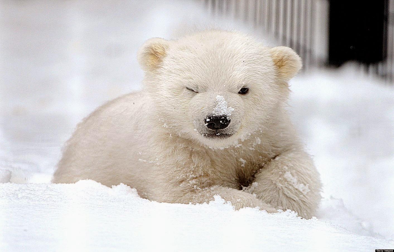White Bear Baby In Snow