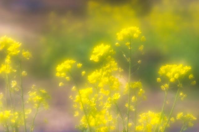 ベリート 菜の花