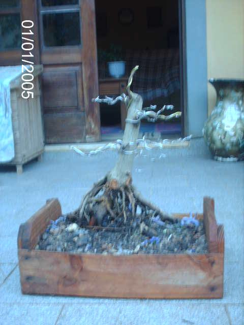 Ficus Microcarpa var. Indica... PICT1621