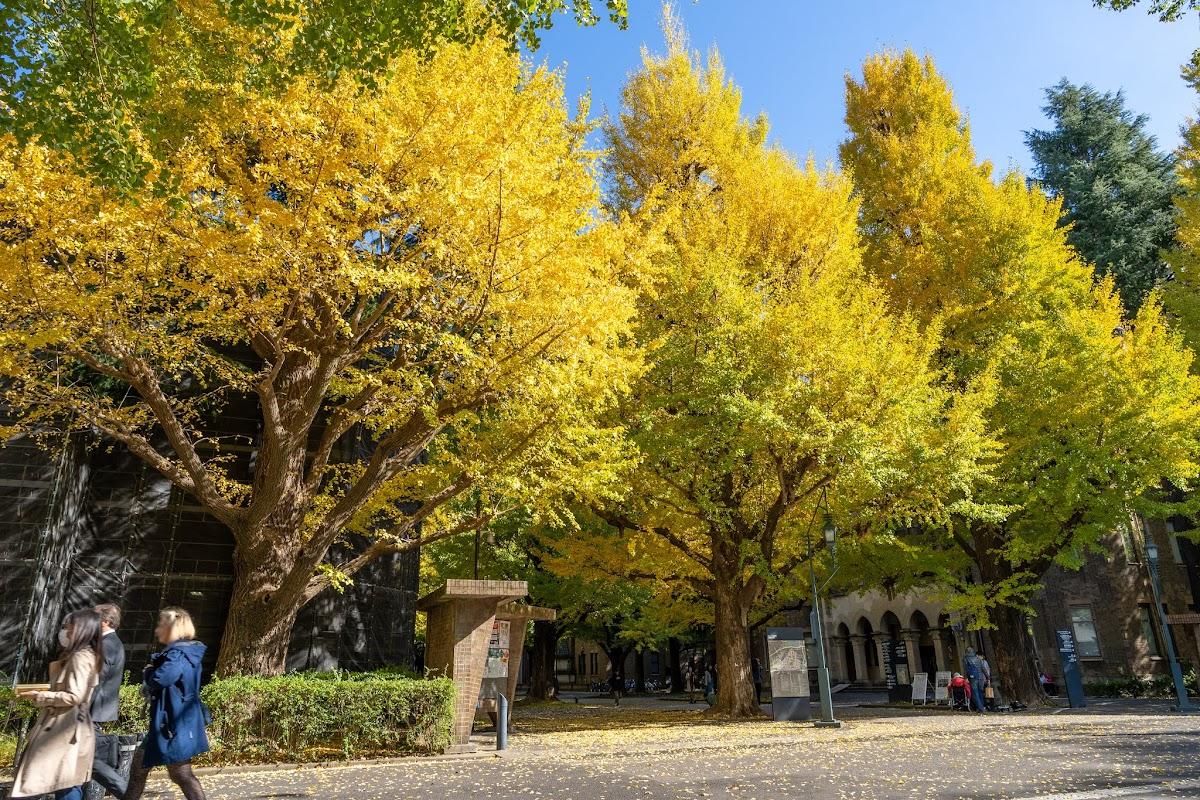 【2019年】東京大學の銀杏並木が見頃を迎えます - Mana Blog Next