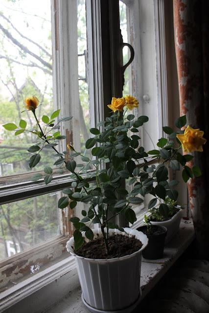 Розы в комнатной культуре - Страница 5 Img6073w