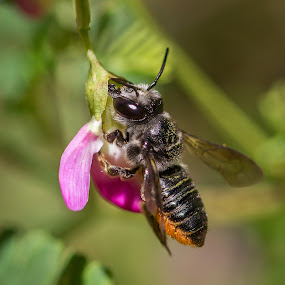 Leafcutter Bee on Darling Pea by Erica Siegel - Animals Insects & Spiders ( leafcutter bee, macro, bees, native bee )