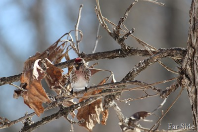 Redpoll in a tree