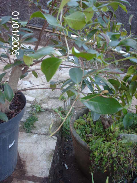Ficus Microcarpa var. Indica... PICT1605