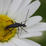 Lepturinae : Stenurella nigra (L., 1758) (?). Les Hautes-Lisières (Rouvres, 28), 11 juin 2012. Photo : J.-M. Gayman