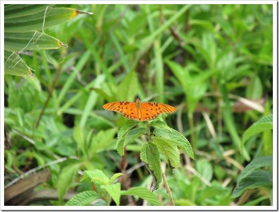 2017-05-05 Florida, Stuart - Gulf Fritilary Butterfly (2)