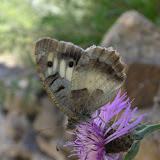 Charaza briseis LINNAEUS, 1764, mâle. Jardin botanique de Khorog, 30 juillet 2007. Photo : J. Michel