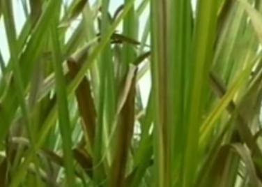 ಬೆಳಗಾವಿ: ವಾಮಾಚಾರಕ್ಕೆ ಯತ್ನಿಸಲಾಗಿದ್ದ ಹೆಣ್ಣು ಮಗು ಕಬ್ಬಿನ ಗದ್ದೆಯಲ್ಲಿ ಪತ್ತೆ!