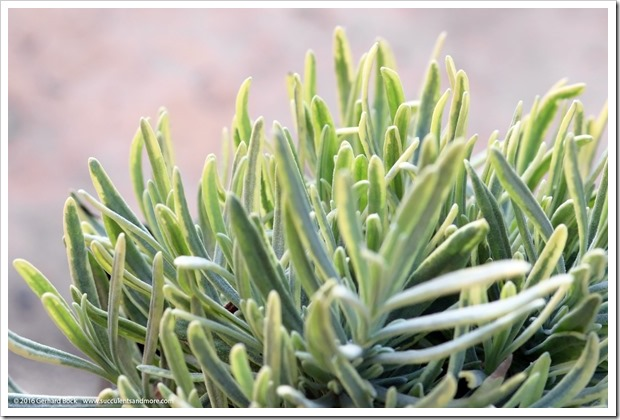 160530_variegated_lavender_003