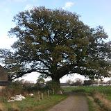 de z.g. Napoleonboom aan de Bolmansweg