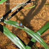 Astraptes sp. Saül, novembre 2012. Photo : M. Belloin