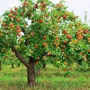 albero-di-mele_NG1