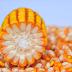 Membuat Pakan Ternak Tinggi Protein dari Jagung