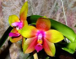 Phalaenopsis Penang Girl Images