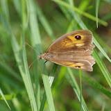 Maniola jurtina (Linnaeus, 1758), femelle. Les Hautes-Lisières (Rouvres, 28), 8 septembre 2015. Photo : J.-M. Gayman
