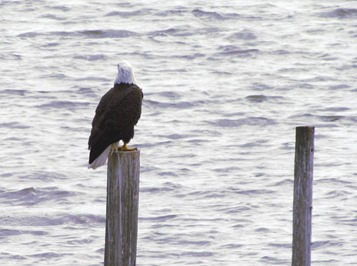 1701026 Jan 11 Bald Eagle By The Water