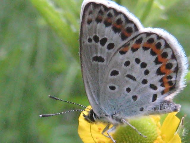 Plebejus subsolanus EVERSMANN, 1851. Cinq km au sud de Novogordeevka près d'Anutchino (Primorskij Kraj, Russie), 3 juillet 2011. Photo : G. Charet
