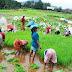 अकोले तालुक्यात आदिवासी भागात भात आवणीला सुरवात