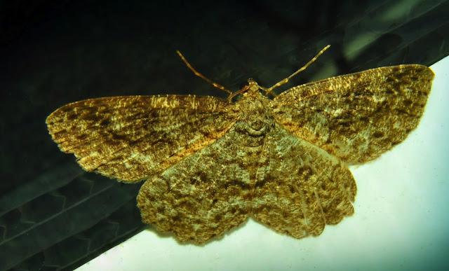 Geometridae : Ennominae : Boarmiini : probablement Ectropis fractaria GUENÉE, 1857. Umina Beach (N. S. W., Australie), 28 novembre 2011. Photo : Barbara Kedzierski