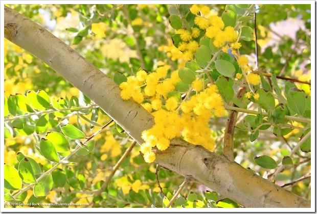 160215_UCDA_AcaciaGrove_Acacia-podalyriifolia_015