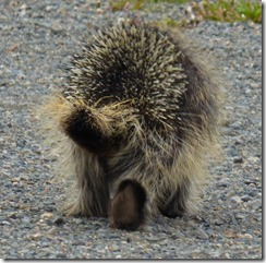 North American Porcupine along Klondike Highway, Yukon