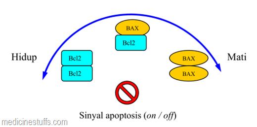 kerentanan-terhadap-apoptosis