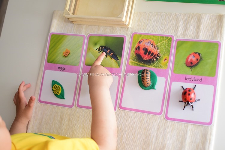 The Ladybug Life Cycle Cards