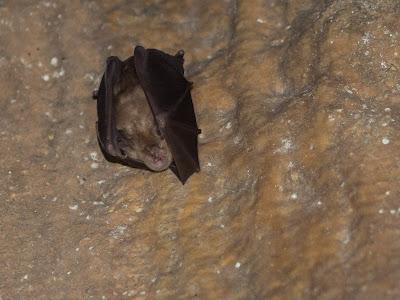 Ratpenat hivernant en una de les parets de la cova