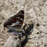 Apatura iris (L., 1758), mâle. Les Hautes-Lisières (Rouvres, 28), 18 juillet 2013. Photo : J.-M. Gayman