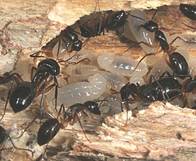 Figure 9. Les fourmis Camponotus baynei ARNOLD, 1922 s'occupant du naissain. Photo : D. Edge