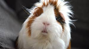 Tips for improving your guinea pig's lifespan!