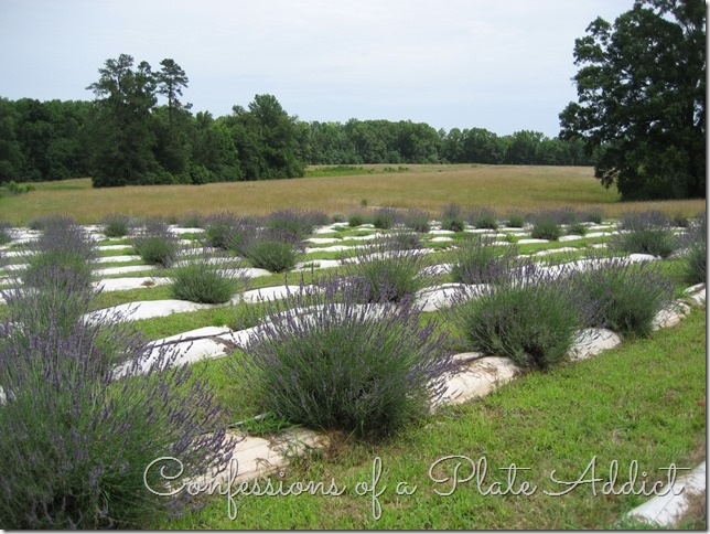 CONFESSIONS OF A PLATE ADDICT A Visit to the Lavender Farm
