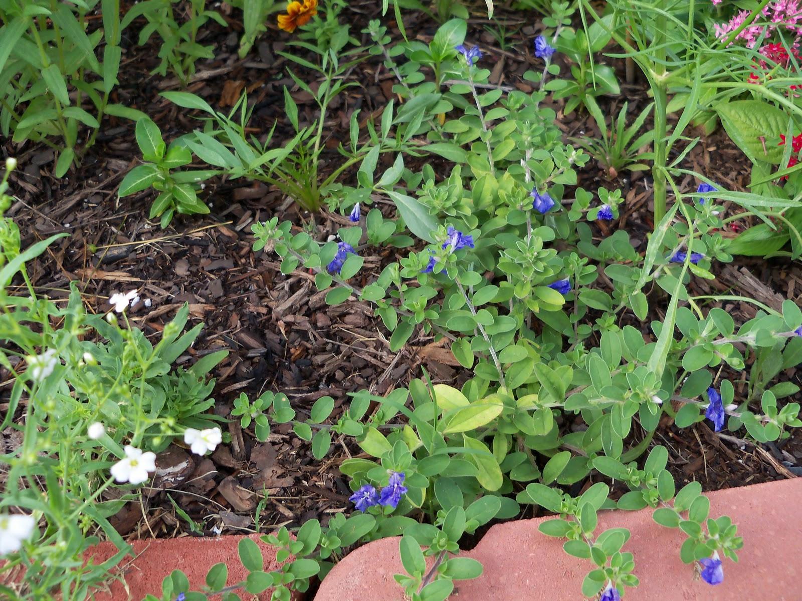 Gardening 2010, Part Three - 101_3537.JPG