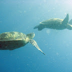 Lots of turtles at Sipadan