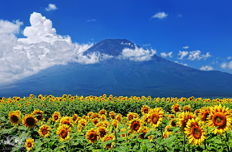 Photo: 富士山の四季(日本語↓) Fuji for all seasons Best of Summer  ベスト・オブ・サマー  Some of the best things I can think of about summer is beautiful blue sky, beach, sunflowers, water melons,and ice cream, tonight I share with you two of the best things about summer: blue sky, sunflowers...and Fuji  夏についてのもっとも良いことで私に思い浮かぶのは、綺麗な青い空、砂浜、ひまわり、スイカ、そしてアイスクリーム、今夜はこの内2つの夏での良い事である青い空とひまわり・・・そして富士山を皆様と共有したいと思います。  Other photos are available in my Facebook page, please add me, thank you!! 私が撮った他の写真はFacebookにてアップしています, 「いいね!」をフェイスブックで押していただければ幸いです。 https://www.facebook.com/Lilliphoto