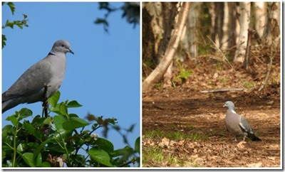Collared Dove and Wood Pigeon