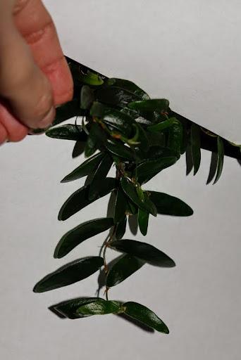 Комнатные растения. Папоротники и т.д. DSC03385