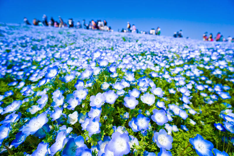 Hitachi Seaside Park Nemophila (baby blue eyes flowers) photo5