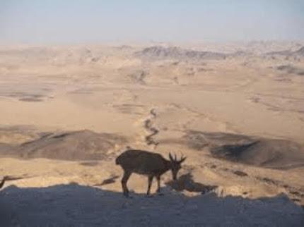 Veado-campeiro no deserto