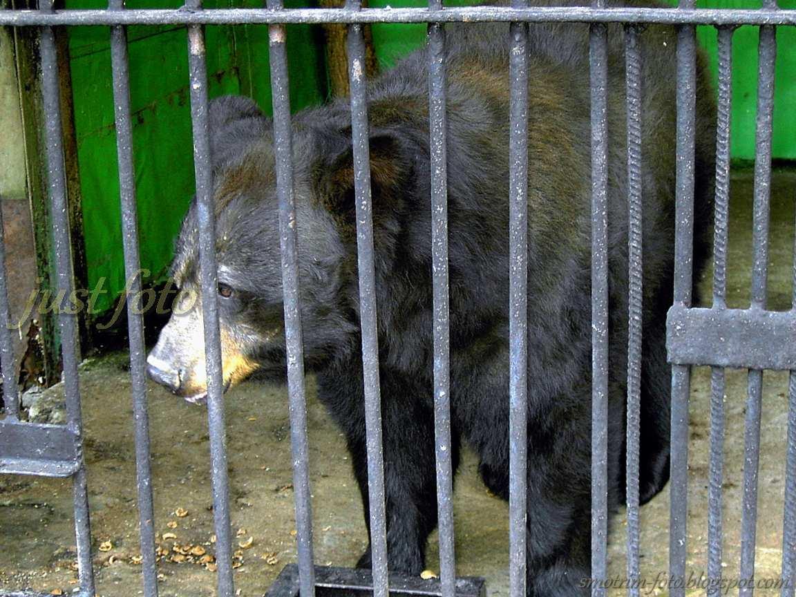 Косолапый медведь в клетке зоопарка фото