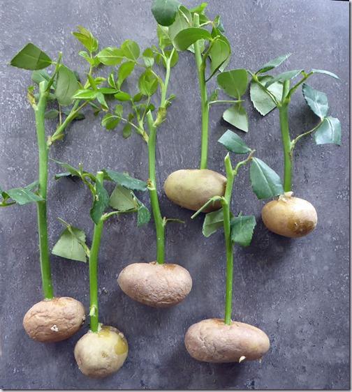 rozen-aardappel