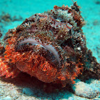 Red bearded scorpionfish
